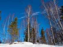 Άσπρες σημύδες στο χειμερινό δάσος στο υπόβαθρο του φωτεινού μπλε ουρανού με τα σύννεφα σε Altai, Ρωσία στοκ φωτογραφία