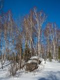 Άσπρες σημύδες στο χειμερινό δάσος στο υπόβαθρο του φωτεινού μπλε ουρανού με τα σύννεφα σε Altai, Ρωσία στοκ φωτογραφία με δικαίωμα ελεύθερης χρήσης