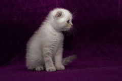 Άσπρες σκωτσέζικες πτυχές γατακιών στοκ εικόνες