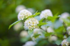 Άσπρες σφαίρες λουλουδιών στοκ φωτογραφία με δικαίωμα ελεύθερης χρήσης