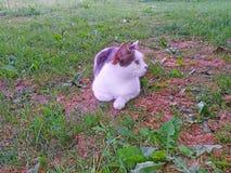 Άσπρες τιγρέ ψέματα και ανάπαυση γατών στη χλόη στη σκιά στοκ φωτογραφία με δικαίωμα ελεύθερης χρήσης