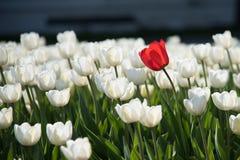 Άσπρες τουλίπες και ένα κόκκινο στοκ φωτογραφίες με δικαίωμα ελεύθερης χρήσης