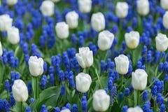 Άσπρες τουλίπες και μπλε armeniacum muscari υάκινθων σταφυλιών στο α Στοκ φωτογραφίες με δικαίωμα ελεύθερης χρήσης