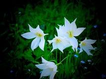 Άσπρες τουλίπες κήπων - Λονδίνο Στοκ Εικόνες