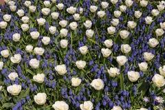 Άσπρες τουλίπες με τους μπλε υάκινθους. στοκ εικόνα