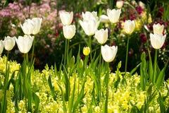 Άσπρες τουλίπες στα κίτρινα λουλούδια Antirrhinum Στοκ φωτογραφία με δικαίωμα ελεύθερης χρήσης