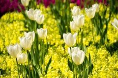 Άσπρες τουλίπες στα λουλούδια Antirrhinum στιγμιοτύπων Στοκ εικόνες με δικαίωμα ελεύθερης χρήσης
