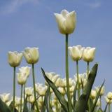 Άσπρες τουλίπες στοκ φωτογραφίες με δικαίωμα ελεύθερης χρήσης