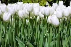 Άσπρες τουλίπες στοκ φωτογραφία με δικαίωμα ελεύθερης χρήσης