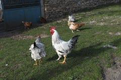 Άσπρες του χωριού ελεύθερες κότες κοκκόρων Στοκ Εικόνες