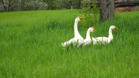 Άσπρες τρεις χήνες στοκ φωτογραφία με δικαίωμα ελεύθερης χρήσης