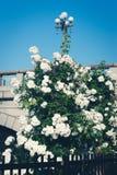 Άσπρες τριαντάφυλλα και γέφυρα Στοκ φωτογραφία με δικαίωμα ελεύθερης χρήσης