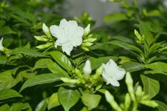 Άσπρες φωτογραφίες λουλουδιών Στοκ εικόνα με δικαίωμα ελεύθερης χρήσης