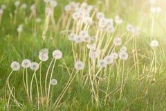 Άσπρες χνουδωτές πικραλίδες στο λιβάδι Φυσική ανασκόπηση άνοιξη Στοκ Φωτογραφία