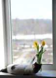 Άσπρες χνουδωτές γάτα και ανθοδέσμη των κίτρινων τουλιπών λουλουδιών σε ένα βάζο γυαλιού σε ένα windowsill Στοκ Φωτογραφίες