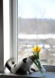 Άσπρες χνουδωτές γάτα και ανθοδέσμη των κίτρινων τουλιπών λουλουδιών σε ένα βάζο γυαλιού σε ένα windowsill Στοκ φωτογραφία με δικαίωμα ελεύθερης χρήσης
