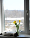 Άσπρες χνουδωτές γάτα και ανθοδέσμη των κίτρινων τουλιπών λουλουδιών σε ένα βάζο γυαλιού σε ένα windowsill Στοκ Εικόνα