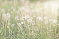 Άσπρες χνουδωτές πικραλίδες στο λιβάδι Φυσική ανασκόπηση άνοιξη Στοκ εικόνες με δικαίωμα ελεύθερης χρήσης