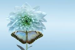 Άσπρες χρυσάνθεμο και πεταλούδα Στοκ Φωτογραφία
