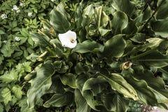 Άσπρες calla εγκαταστάσεις λουλουδιών άνωθεν Στοκ φωτογραφίες με δικαίωμα ελεύθερης χρήσης