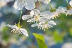 Άσπρη άνθιση άνοιξη λουλουδιών κερασιών Κλείστε επάνω τον καλλιτεχνικό πυροβολισμό στοκ φωτογραφία με δικαίωμα ελεύθερης χρήσης