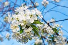 Άσπρη άνθιση άνοιξη λουλουδιών κερασιών με το μπλε ουρανό στο υπόβαθρο Κλείστε επάνω τον καλλιτεχνικό πυροβολισμό στοκ φωτογραφία με δικαίωμα ελεύθερης χρήσης
