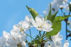 Άσπρη άνθιση άνοιξη λουλουδιών κερασιών με το μπλε ουρανό στο υπόβαθρο Κλείστε επάνω τον καλλιτεχνικό πυροβολισμό στοκ εικόνα με δικαίωμα ελεύθερης χρήσης