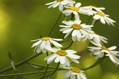 Άσπρη άνθιση μαργαριτών μια ηλιόλουστη θερινή ημέρα Όμορφο κιτρινοπράσινο floral υπόβαθρο των δασικών λουλουδιών Κινηματογράφηση  Στοκ Εικόνα