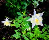 Άσπρη άνθιση λουλουδιών Aquilegia Στοκ εικόνα με δικαίωμα ελεύθερης χρήσης