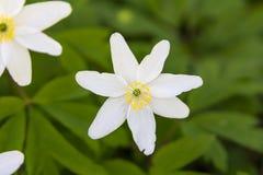Άσπρη άνθιση στο πράσινο υπόβαθρο στοκ εικόνες με δικαίωμα ελεύθερης χρήσης