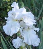 Άσπρη άνθιση 2 της Iris Στοκ Εικόνα