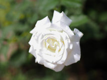 Άσπρη άνθιση τριαντάφυλλων Στοκ φωτογραφία με δικαίωμα ελεύθερης χρήσης