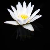 Άσπρη άνθιση λωτού Στοκ εικόνα με δικαίωμα ελεύθερης χρήσης