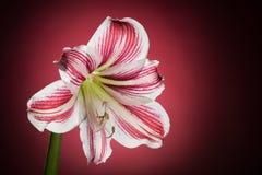 Άσπρη άνθιση amaryllis με τα κόκκινα λωρίδες Φυσικό ανθίζοντας άνθος λουλουδιών Hippeastrum Στοκ Φωτογραφία