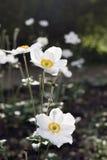 Άσπρη άνθιση anemones στο πάρκο Στοκ Φωτογραφία