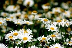 Άσπρη άνθιση Daisy Στοκ Εικόνες