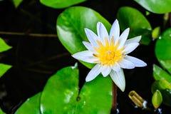 Άσπρη άνθιση Lotus Στοκ φωτογραφία με δικαίωμα ελεύθερης χρήσης