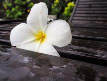 Άσπρη άνθιση Plumeria ή λουλούδι franginpani που καλύπτεται με το νερό Στοκ Φωτογραφία