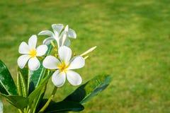 Άσπρη άνθιση Plumeria ομορφιάς στο δέντρο Στοκ Φωτογραφίες