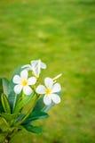 Άσπρη άνθιση Plumeria ομορφιάς στο δέντρο Στοκ φωτογραφία με δικαίωμα ελεύθερης χρήσης
