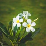 Άσπρη άνθιση Plumeria ομορφιάς στο δέντρο Στοκ Φωτογραφία