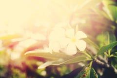 Άσπρη άνθιση Plumeria λουλουδιών Frangipani τροπική Στοκ εικόνες με δικαίωμα ελεύθερης χρήσης