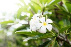 Άσπρη άνθιση Plumeria λουλουδιών Frangipani τροπική Στοκ Εικόνες