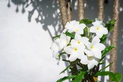 Άσπρη άνθιση Plumeria Pudica ομορφιάς στο δέντρο Στοκ Εικόνες