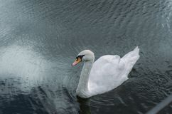 Άσπρη άποψη κύκνων άνωθεν Στοκ φωτογραφίες με δικαίωμα ελεύθερης χρήσης