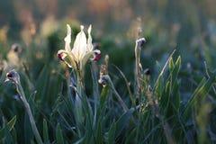 Άσπρη ίριδα στο λιβάδι Πρωί άνοιξη, αναδρομικά φωτισμένο χρώμα Ανθίζοντας φυτό στοκ φωτογραφίες με δικαίωμα ελεύθερης χρήσης