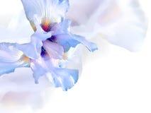 Άσπρη ίριδα. Στοκ Φωτογραφία
