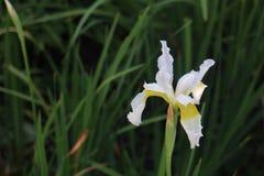Άσπρη ίριδα Στοκ Φωτογραφίες