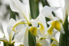 Άσπρη ίριδα Στοκ Εικόνες