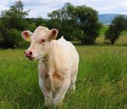 Άσπρη αγελάδα μωρών στη Γερμανία στοκ εικόνα